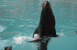 Sea lion in the show Royalty Free Stock Photography