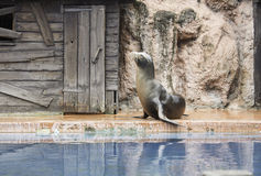 Sea lion show. Show sea lion in zoo, animals and nature Royalty Free Stock Photos