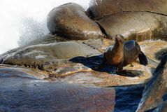 Sea Lion Shower. A Sea Lion cools off in the surf Royalty Free Stock Photos