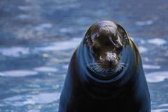Sea lion during shows organized in aquarium Zoo Royalty Free Stock Image