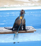 Sea lion singing Stock Photography
