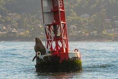 Sea Lion Sits on Bouy. Floating Along Oregon Coast Royalty Free Stock Photos