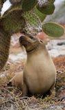 Sea lion sitting next to a cactus. The Galapagos Islands. Pacific Ocean. Ecuador. Royalty Free Stock Photos