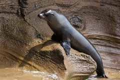 A sea lion sitting on the rock Royalty Free Stock Photo