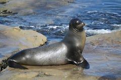 Sea Lion sitting on a rock in La Jolla California. In San Diego Stock Photo