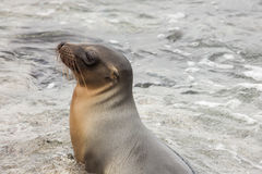 Sea lion sitting in the water. Royalty Free Stock Images