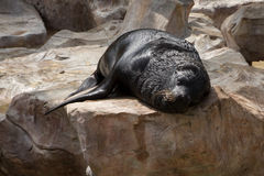 Sea lion sleep on the rock. Royalty Free Stock Images