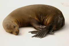 Sea-lion sleeping Stock Image