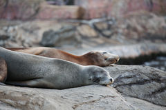 Sea lion sleeping Royalty Free Stock Images