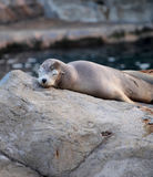 Sea lion sleeping Royalty Free Stock Photos