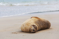 Sea Lion sleeping on the beach, Otago New Zealand Royalty Free Stock Images