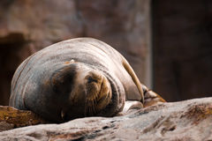 Sea lion sleeping. Closeup of a sea lion sleeping in the zoo stock photography
