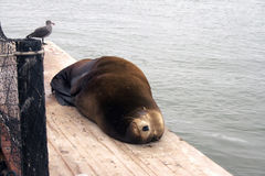 Sea lion sleeping. A sea lion sleeping on a dock with a seagull standing nearby. The water below is quiet waves Royalty Free Stock Photography