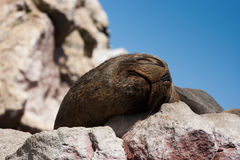 Sea lion sleeping in Islas Ballestas, Peru. Sea lion sleeping in Islas Ballestas, Paracas Peninsula, Peru Royalty Free Stock Images