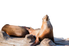 Sea lion sleeping on large stone isolated on white Stock Photography