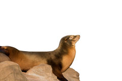 Sea lion sleeping on large stone isolated on white Royalty Free Stock Photos