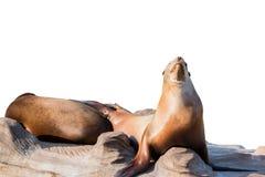 Free Sea Lion Sleeping On Large Stone Isolated On White Stock Photography - 71959652