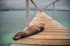 Sea Lion Sleeping on Pier Stock Image