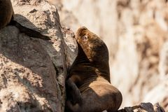 Sea lion on a rock, Islas Ballestas, Paracas Peninsula, Peru. Sea lion sleeping on a rock, Islas Ballestas, Paracas Peninsula, Peru Royalty Free Stock Image