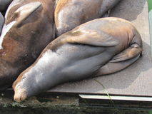 Sea lion sleeping. Rust colored sea lion snuggled next to two others, sleeping on a floating metal platform royalty free stock photography