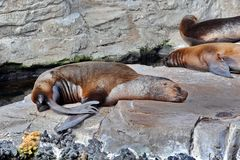 Sea Lion. Sleeping in sun stock images