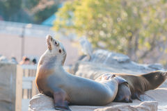 Sea lion sleeping and sunbathe on large stone Royalty Free Stock Images