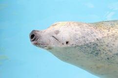 Sea Lion Smiles Stock Photography