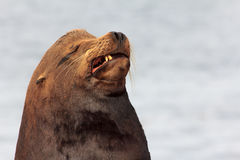 Sea Lion Sneers. Sea Lion with a Sneer and a Scowl Stock Photo