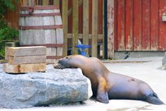 Sea Lion Snoozing. Sea Line resting it's head on a rock having a snooze Stock Photo
