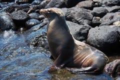 Sea Lion on South Plaza Island Royalty Free Stock Photo
