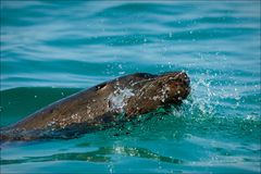 Sea lion in splashes. The seal in splashes floats on bright water shined with the sun Stock Photography