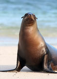 Sea Lion Stares Stock Photography