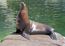 Sea-lion 12 Stock Photo