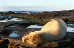Sea Lion Sun Bath Royalty Free Stock Photos