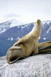 A sea lion sun bathing Stock Images