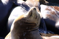 Sea lion sunbathing Stock Images