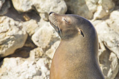 Sea lion sunbathing Royalty Free Stock Image