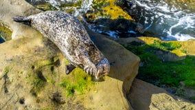 Sea lion sunbathing on cliffs. stock photo
