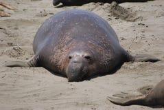 Sea Lion Sunbathing Royalty Free Stock Photos