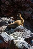 Sea lion on a rock, Islas Ballestas, Paracas Peninsula, Peru. Sea lion sunbathing on a rock, Islas Ballestas, Paracas Peninsula, Peru Stock Image