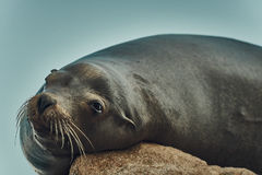 Sea Lion Sunbathing on Rock in Mexico. Cute Sea Lion Sunbathing on a Rock in Cabo San Lucas, Mexico Stock Photos
