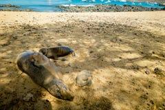 Sea lion sunbathing in san cristobal galapagos Royalty Free Stock Image
