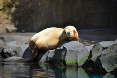 Sea lion sunning. A sea lion sunning itself on the rocks at the Oregon Zoo, Portland, Oregon royalty free stock photo
