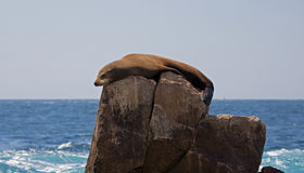 Sea Lion sunning and lounging on Pinnacle rock at Lands End at Cabo San Lucas Baja California Mexico Stock Images