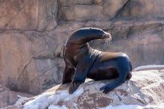 Sea Lion Sunning on Rocks Stock Photo