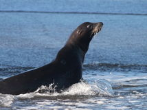 Sea Lion in the Surf stock images