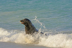 Sea lion in the Surf Royalty Free Stock Images
