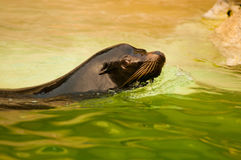 Sea lion swimming. Close up of sea lion swimming in green colored water Stock Photos