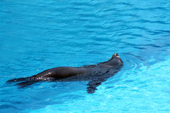 Sea Lion Swimming Stock Image