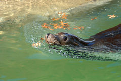 Sea Lion Swimming Royalty Free Stock Image